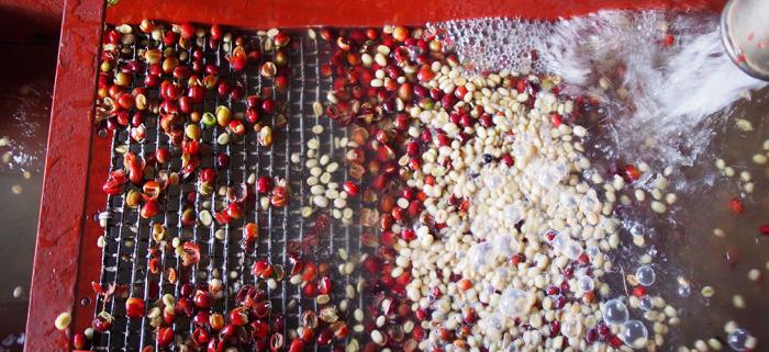 Nước sử dụng trong chế biến cà phề phải đáp ứng quy chuẩn kỹ thuật
